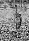 African Grey Heron