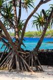 Hala Tree - Pu'uhonua o Honaunau National Historical Park (City Of Refuge)