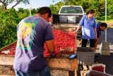 Hand Sorting Coffee Beans at Hula Daddy Coffee Plantation
