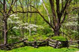 Wild Dogwood Flowers