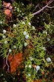 Wild Juniper Berries