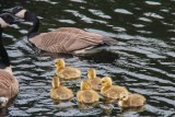 Geese and Gosslings