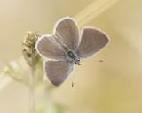 DWERGBLAUWTJE - Cupido minimus - SMALL BLUE