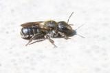 BLAUWE METSELBIJ - Osmia caerulescens - BLUE MASON BEE