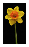 Daffodil on Black_Pat Egaas.jpg