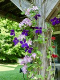 A variety of clematis