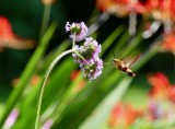 The hummingbird moth loves the verbena bonarises