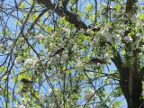 Crabapple blossoms and cedar waxwings!!