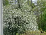 This crabapple tree is over a 100 years old ... the spring blossoms were spectacular!!
