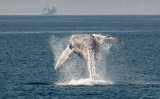 Whales & Dolphins in Ventura, California