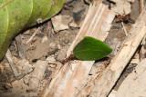 Leafcutter Ants, Peruvian Amazon