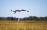 Salt Marsh Birds
