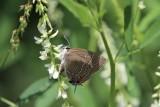 Prairie Acres Lepidoptera