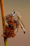 Asilidae (Robber flies / Roofvliegen)