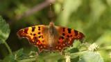Butterfly's / Vlinders