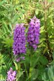 Leopard marsh orchid / Gevlekte rietorchis