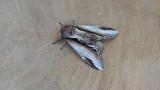 Lesser Swallow Prominent / Berkenbrandvlerkvli nder