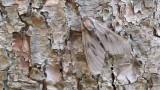 Pine Hawk-moth / Dennenpijlstaart