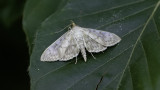 Mother Of Pearl Moth / Parelmoermot
