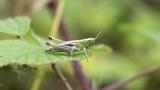 Meadow Grasshopper / Krasser