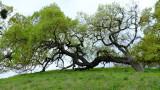 Calero County Park... The Green Green Grass of Almaden - 3/21/20