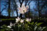 Wildwood Windflower (Vitsippa) Albrunna Lund