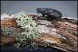 Female Stag Beetle (Ekoxe hona) - Öland