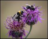 Bumblebees - Öland