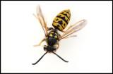 Wasp - Grönhögen