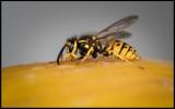 Wasp at melon - Grönhögen