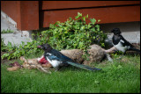 Who killed the rabbit in my back yard? Magpies having a good meal...