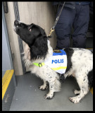 Policedog looking for drugs and weapons at the bus from Kalix to Luleå