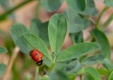 Nine-spotted Lady Beetle