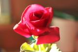 IMG_8824.JPG_Valentine Roses From Mark