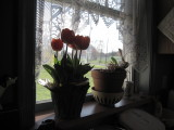 IMG_0197.JPG _Tulips