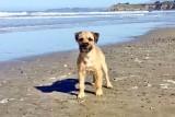 Ollie - Border Terrier