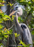 Heron in tree
