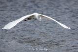 Egret above water