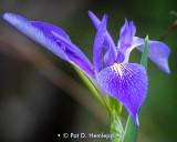 Iris in swamp