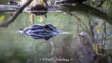 Lurking gator