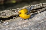 Warbler on log