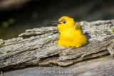 Yellow on a log