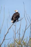 Eagle looking back