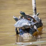 Group of turtles