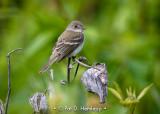 Resting flycatcher