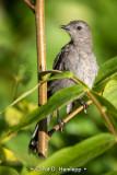Alert catbird