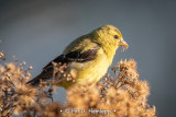 Goldfinch meal