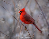 Cardinal in brown field