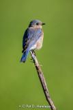 Quiet bluebird