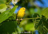 Warbler on limb
